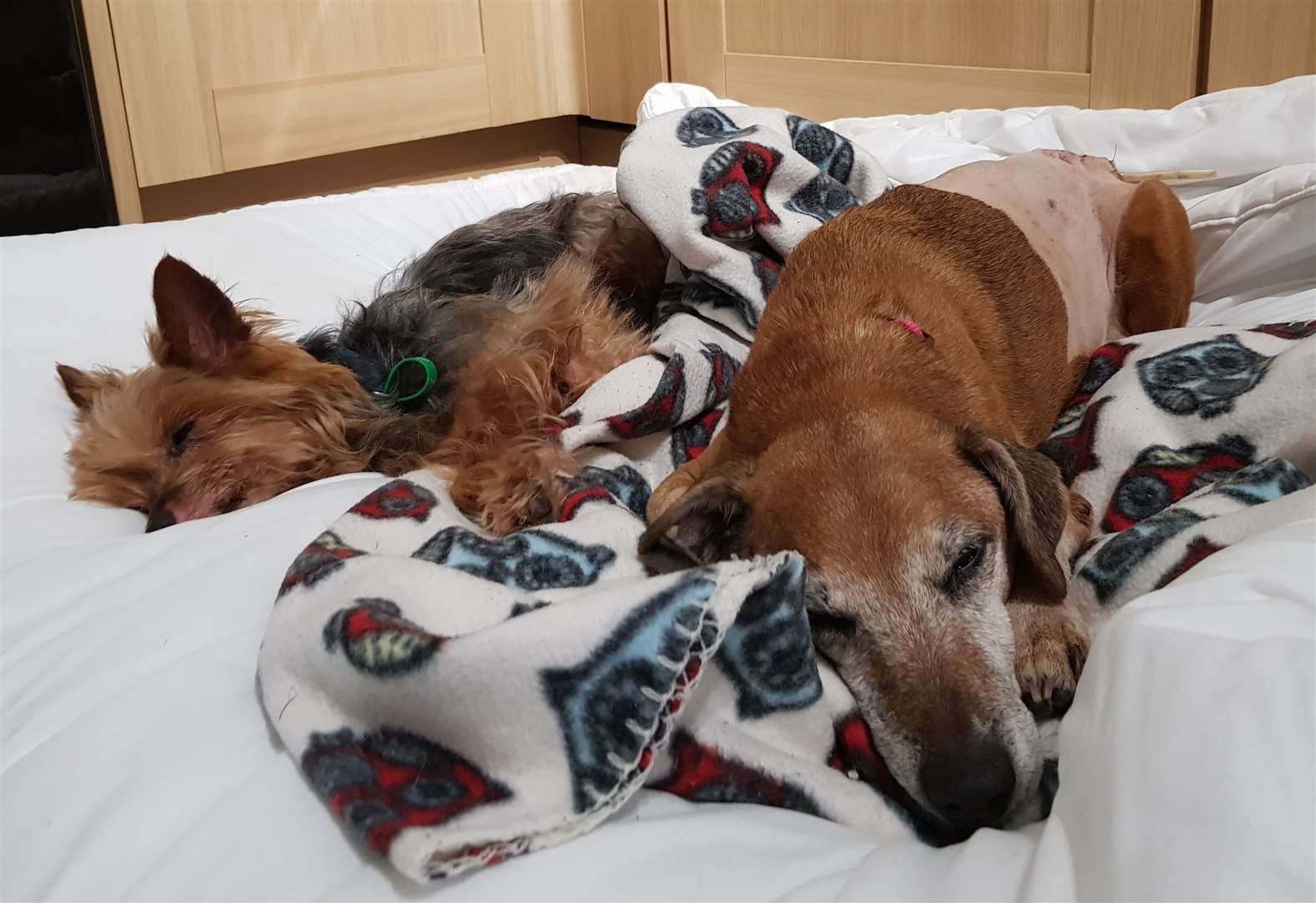 Hope of a home for surgery success Brandy and her pal Marley