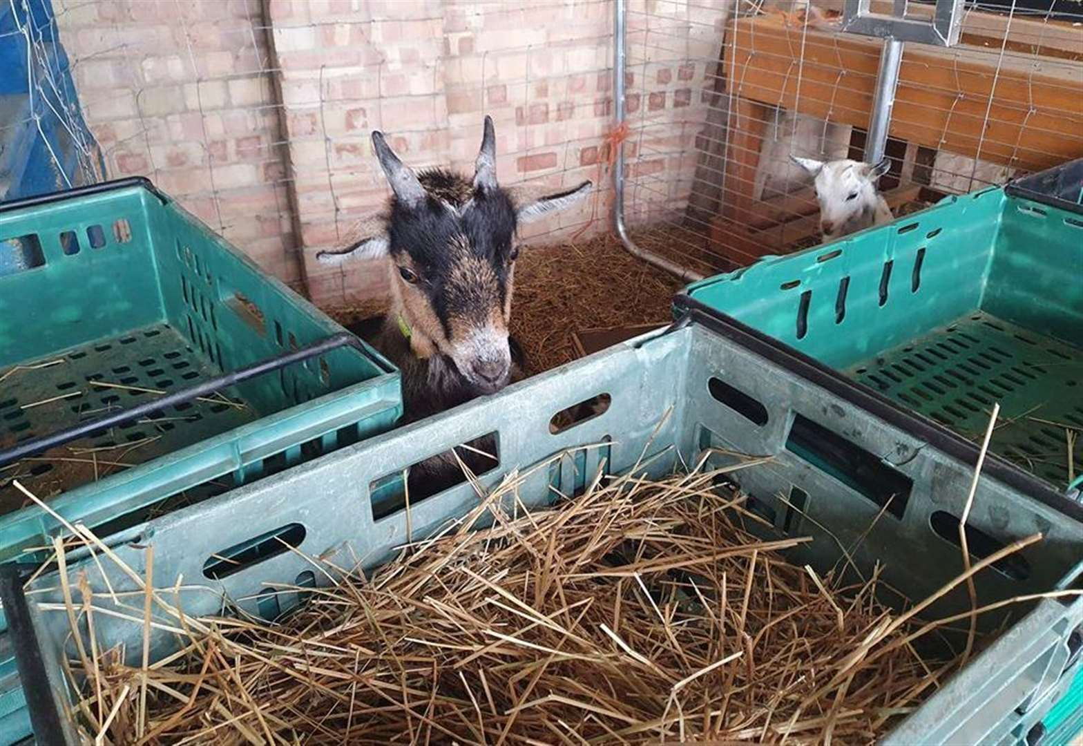Pygmy goats stolen from farm shop
