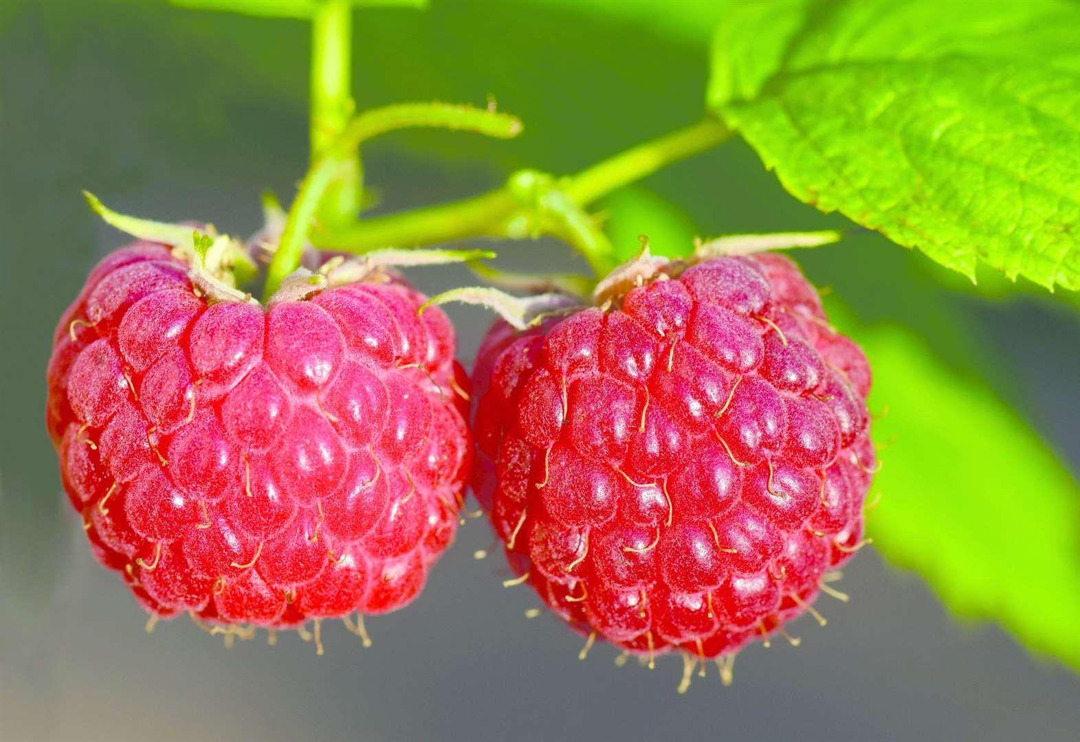 Time to get raspberries in