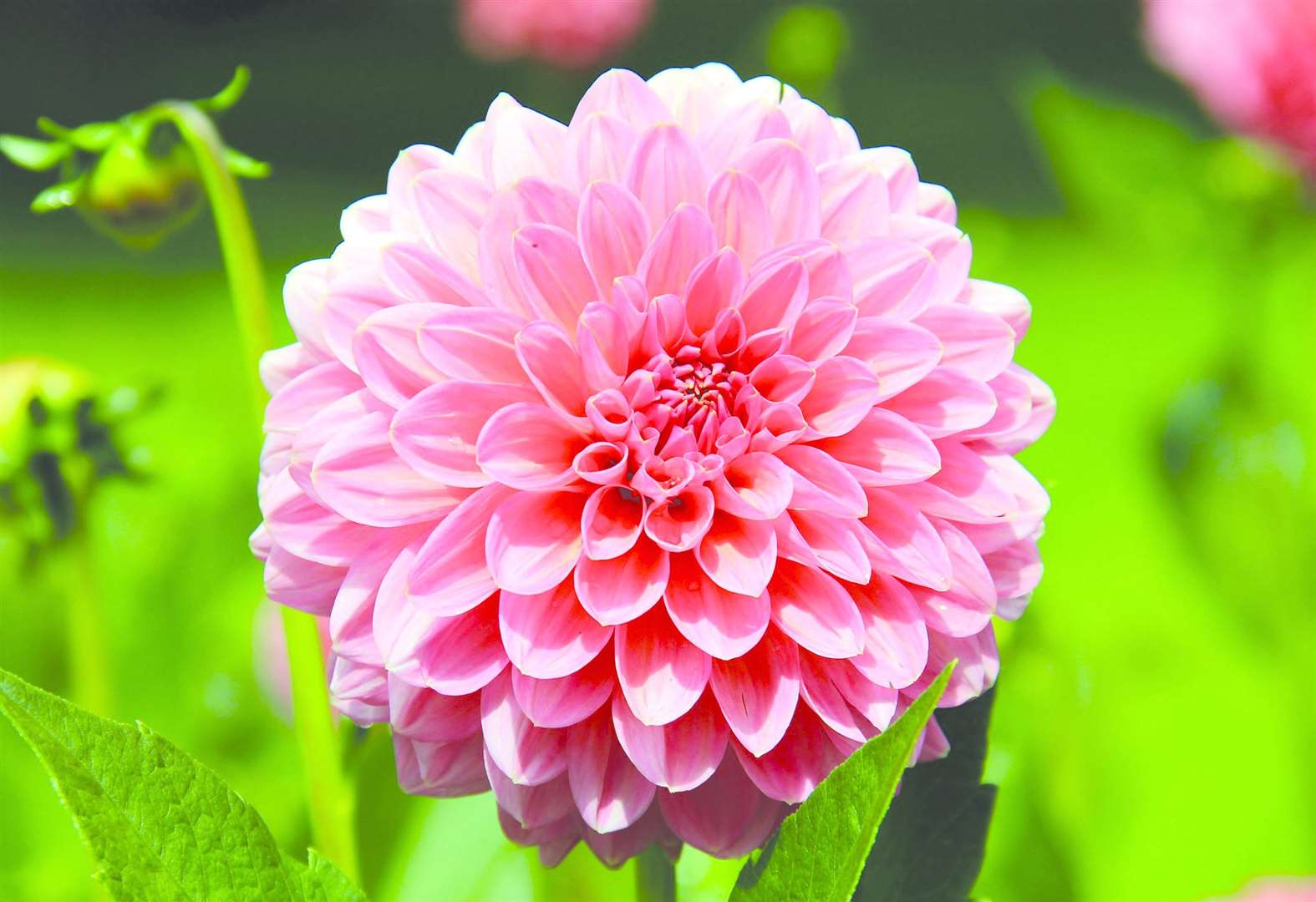 Tips to keep your dahlias