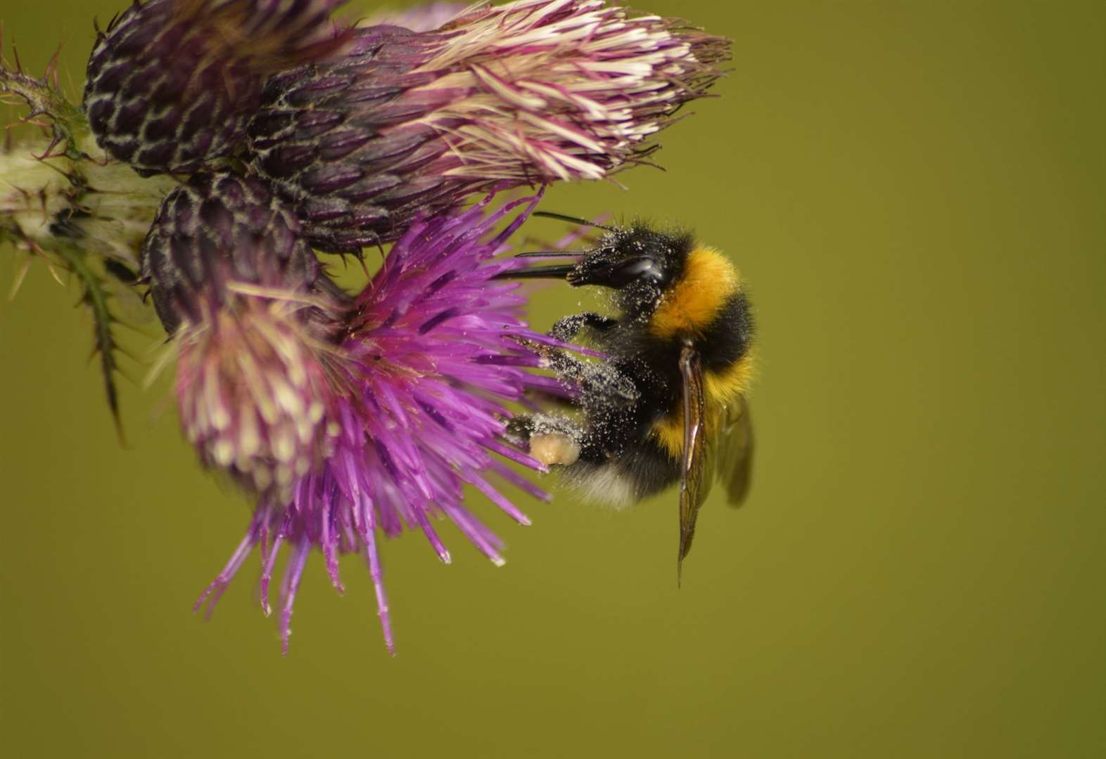 TAKE A WALK ON THE WILDSIDE: The humble bumblebee