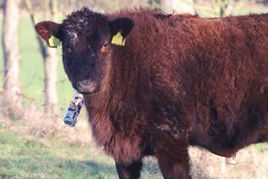 Heifer with plastic beer can ring.