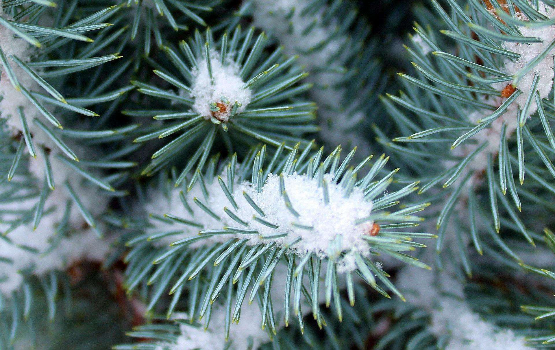 The needle like leaves of a conifer are adapted to cope with winter. (5111078)