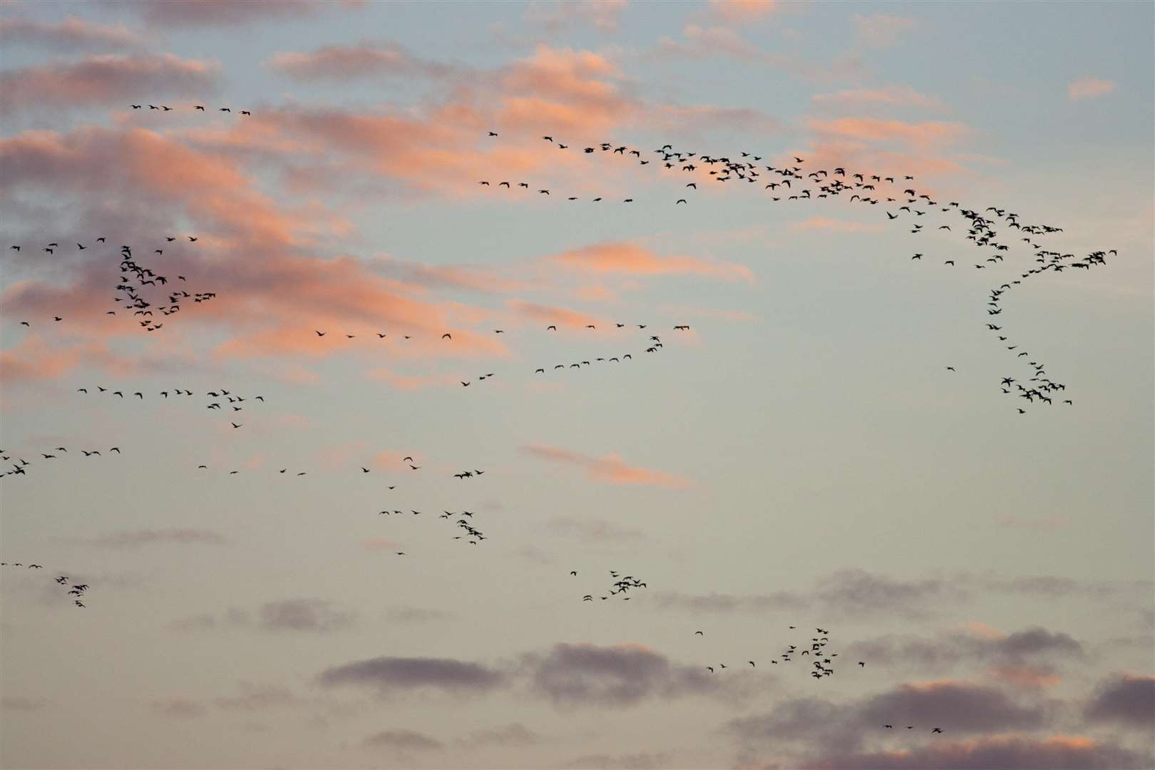 A flock of pink footed geese (Anser brachyrhynchus) soars through the sky. Image by Guy Edwards/2020VISION. (6157100)