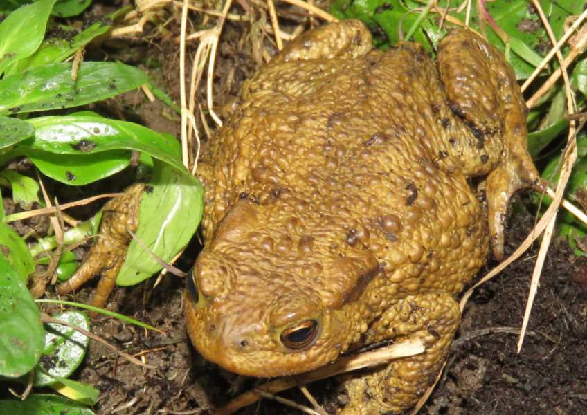 Spalding reader Malcolm Pepper took this splendid picture of a toad.