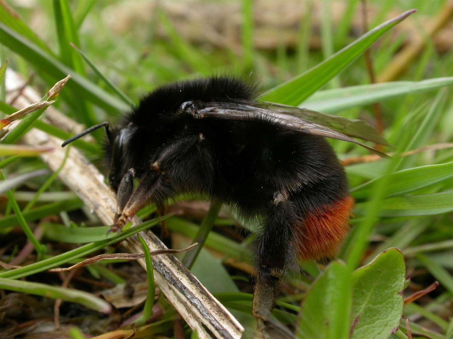 A red-tailed bumblebee. Image by Philip Precey.