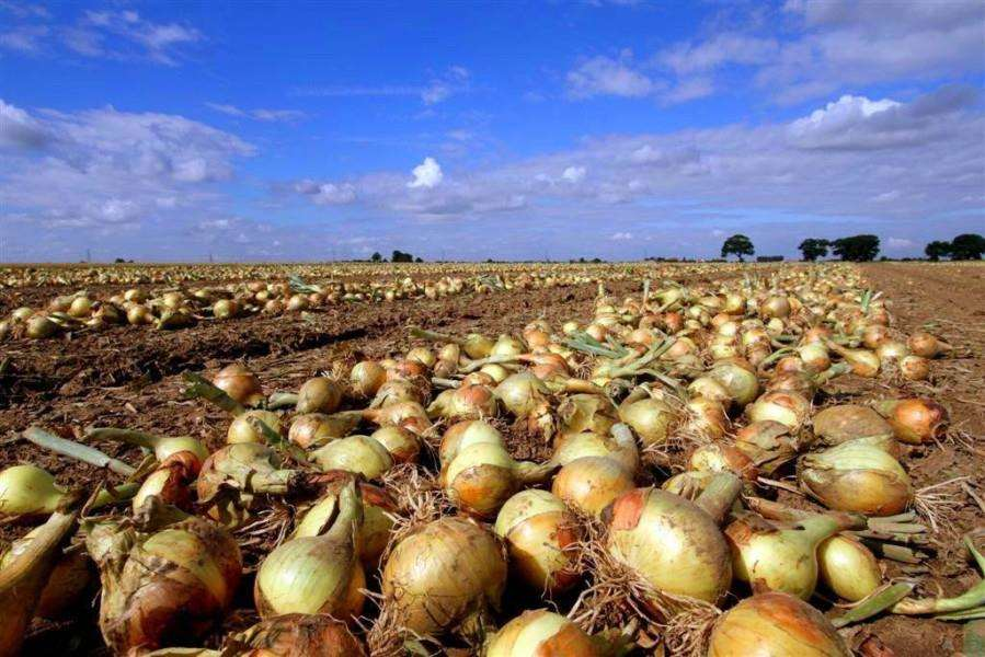 Onion field at Moulton Harvest Co