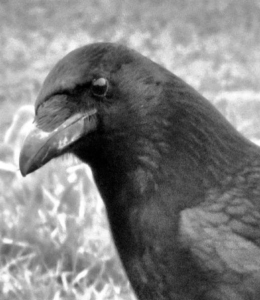 READER'S PHOTO: A carrion crow in West Pinchbeck. By Malcolm Pepper of Spalding.