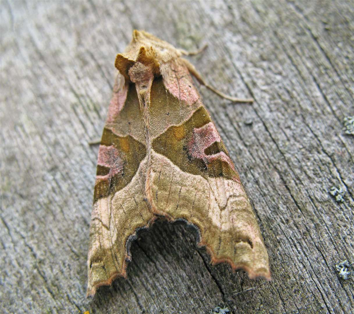 Angle shades moth. Photo by Rachel Scopes. (3971851)