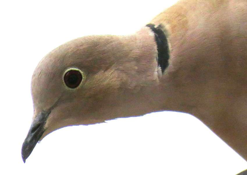 Spalding reader Malcolm Pepper's photo of a Eurasian collared dove.