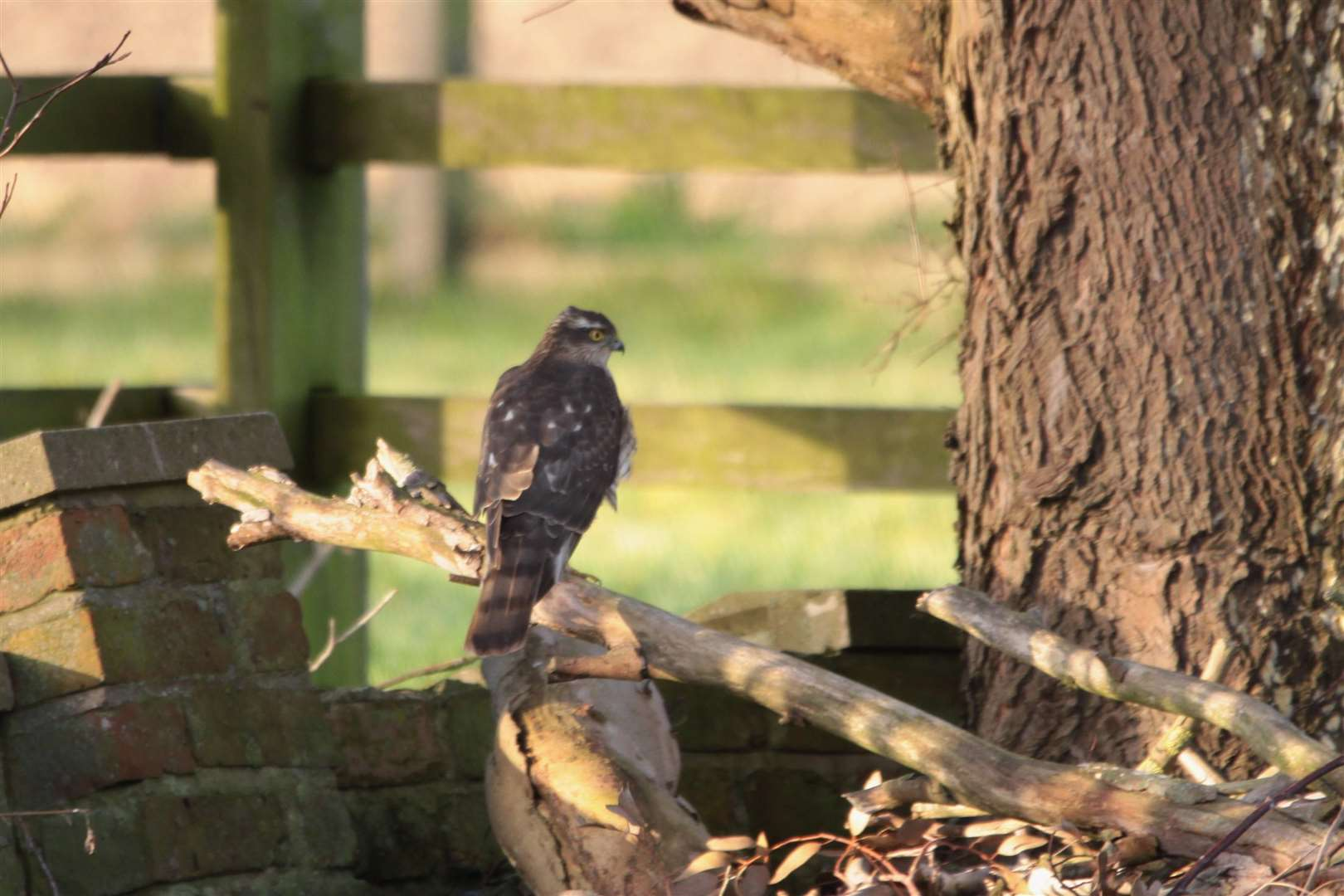 John Ward took a picture of the rare sight of a sparrow hawk in Moulton Seas End (7040476)