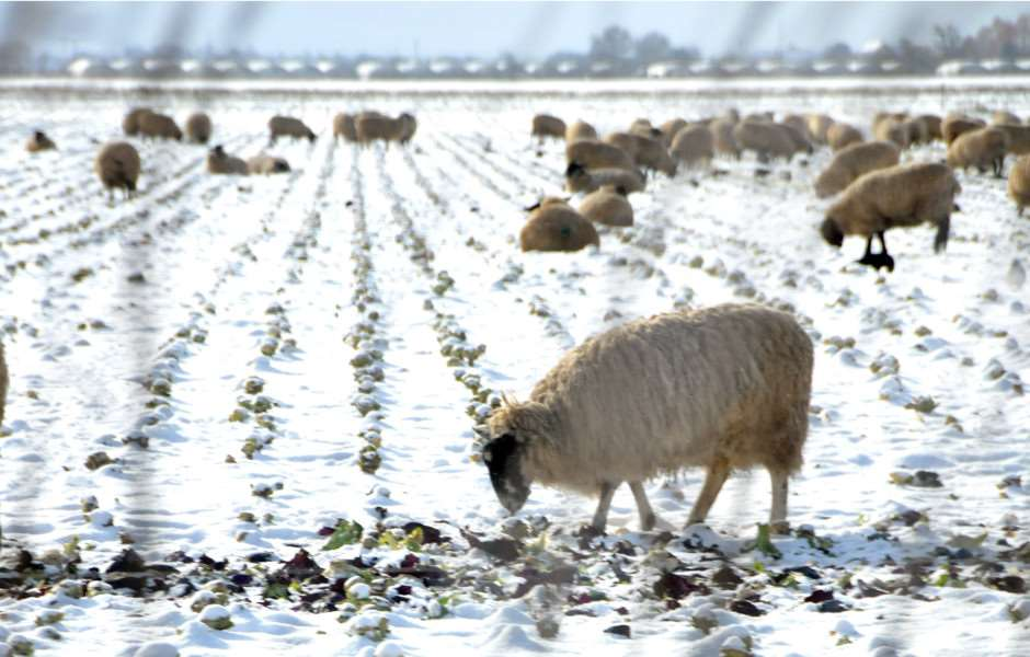 Sheep forage for crops at Weston