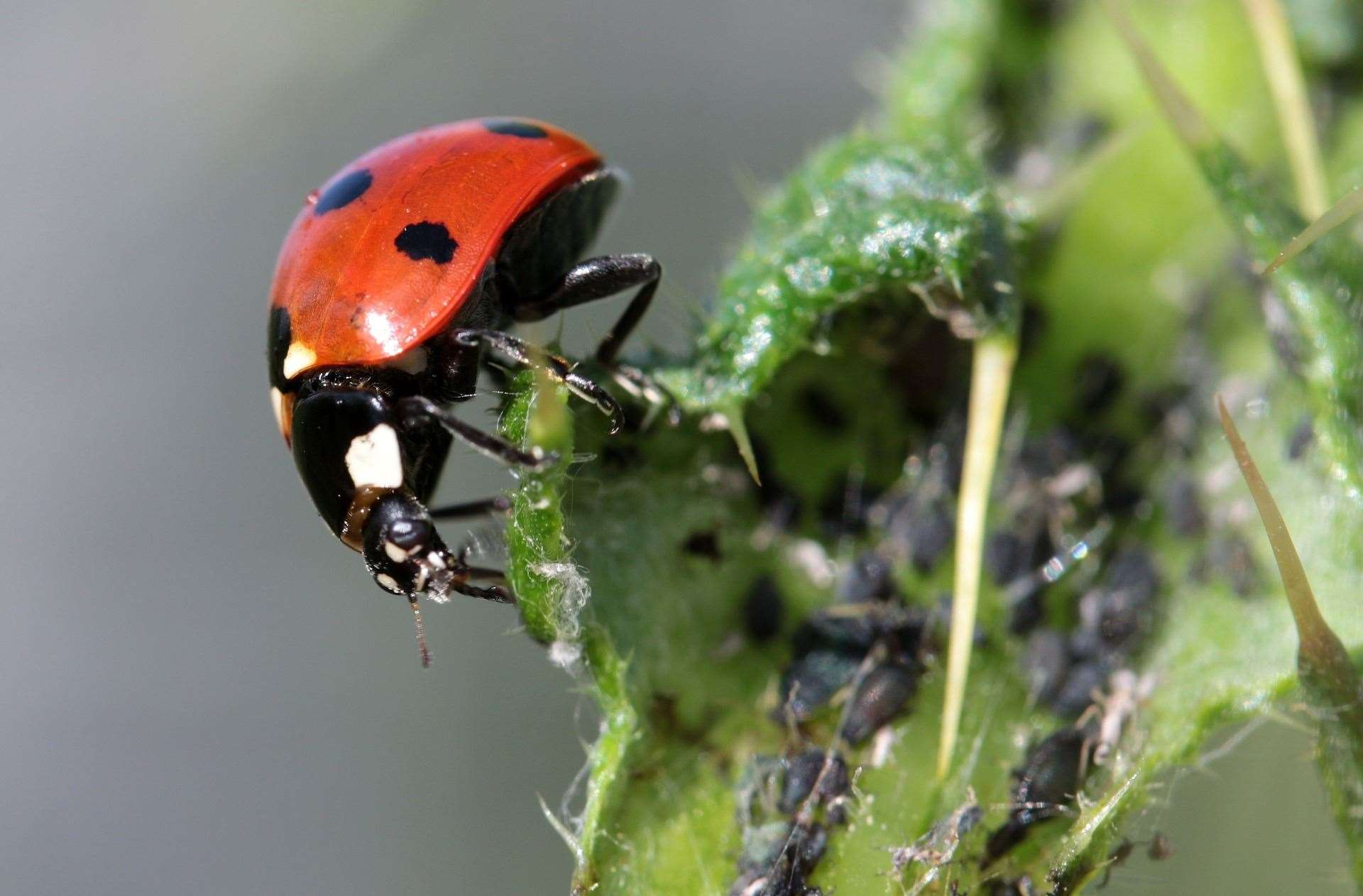 A ladybird eating aphids.