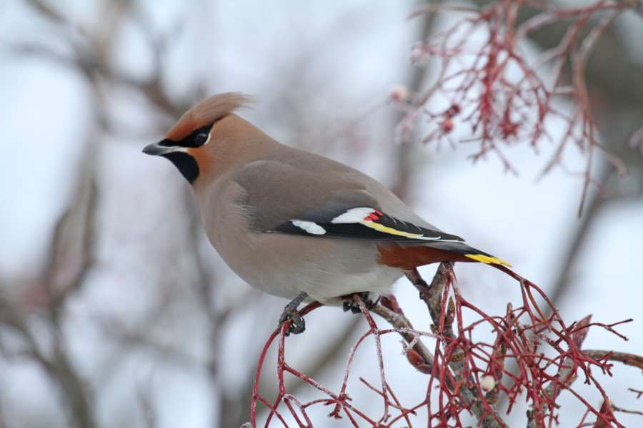 Reader Mark Joy's gorgeous photo of a waxwing.