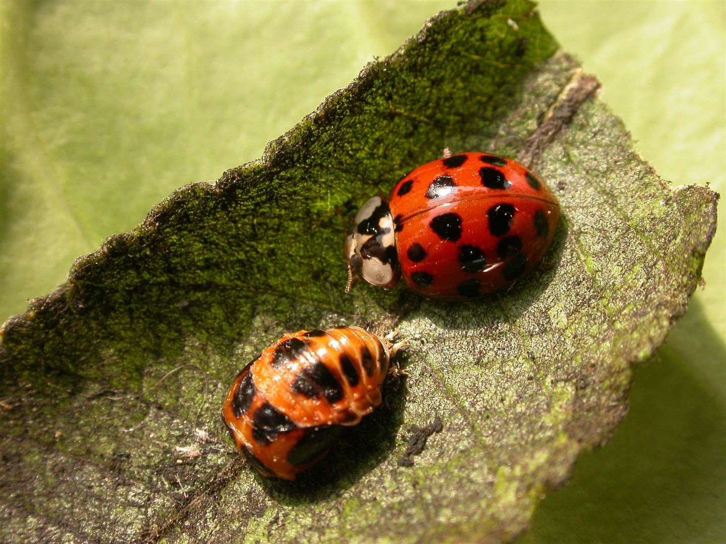 Harlequin ladybird next to a pupa. Credit: Philip Precey.