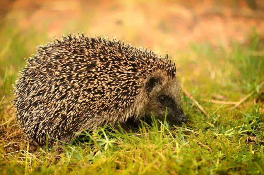 Earthworms make up an important part of a hedgehog's diet.