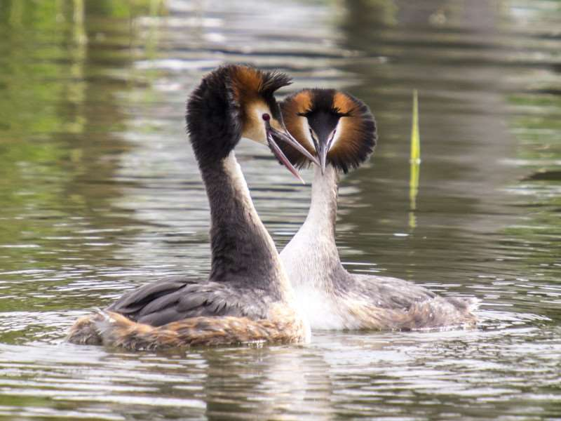The Greatest Love of All: The courtship ritual between the great crested grebes. Photo: Andrew Parkinson/2020 VISION.