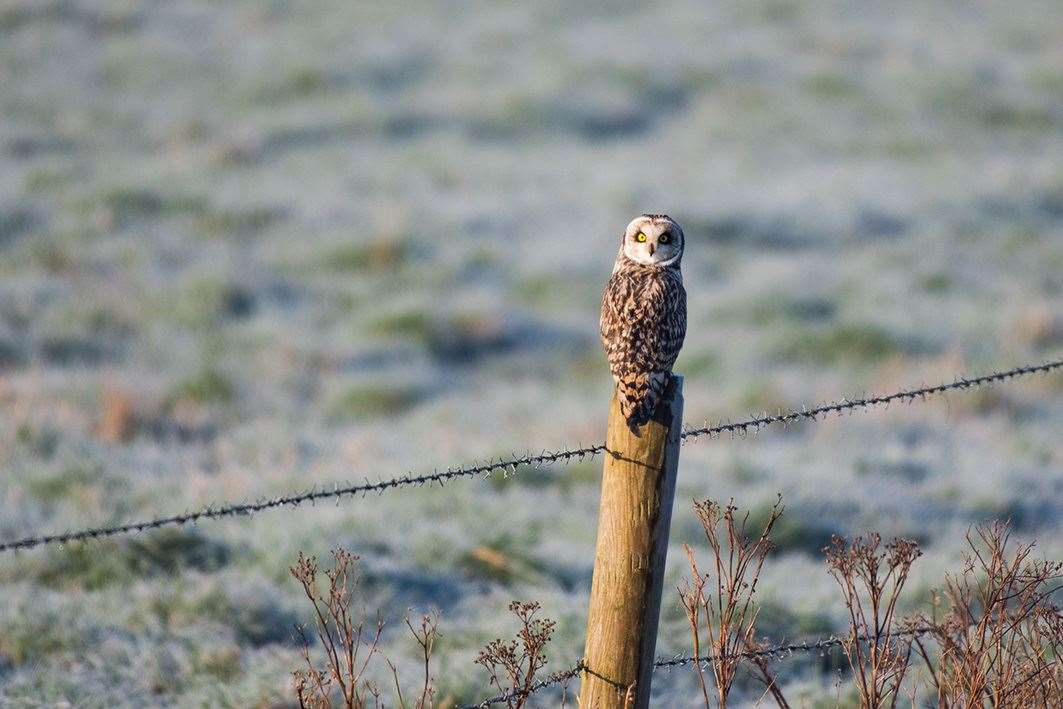 Spalding reader Steve Prior's picture of a short-eared owl, taken early one frosty morning. (11517990)
