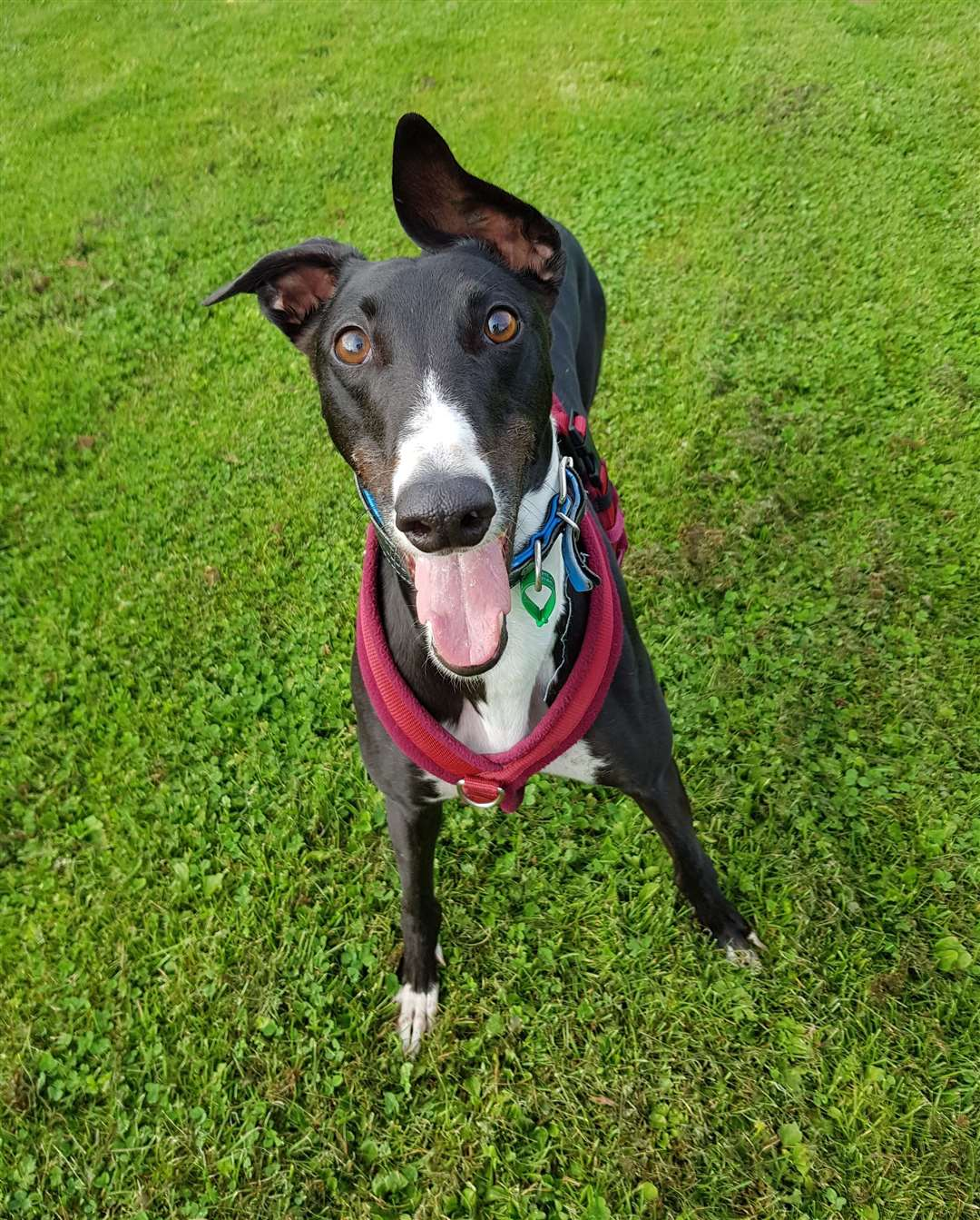 Buddy the greyhound is looking for a new home (17507870)