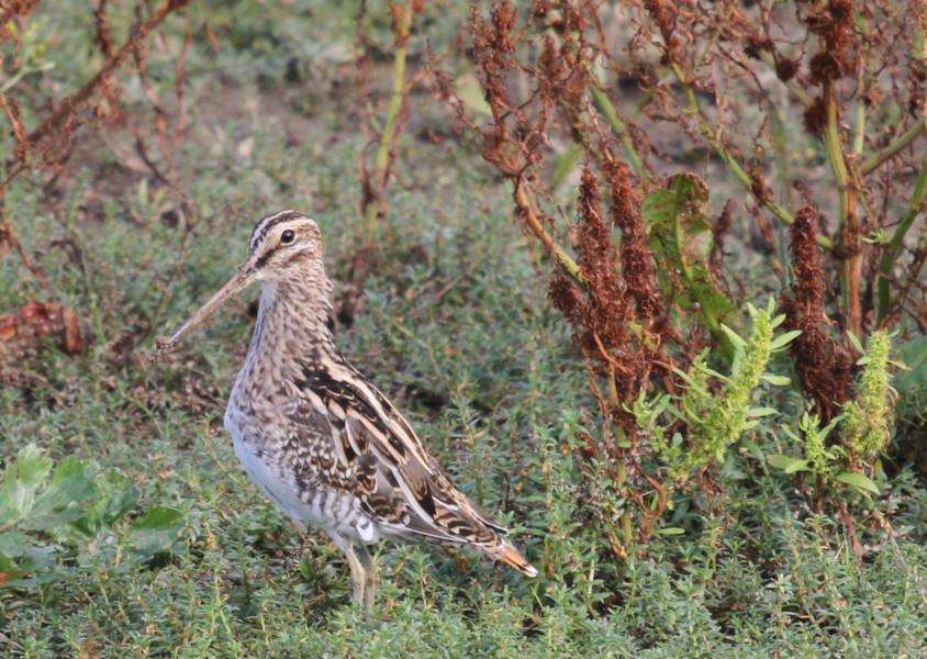 READERS' PICTURES: Mark Joy's photo of a common snipe.
