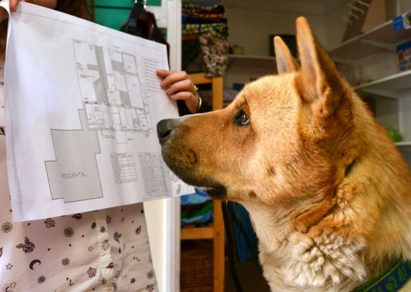 Star looks at plans of the proposed new kennel block. Photo: Tim Wilson (SG060917-124TW).