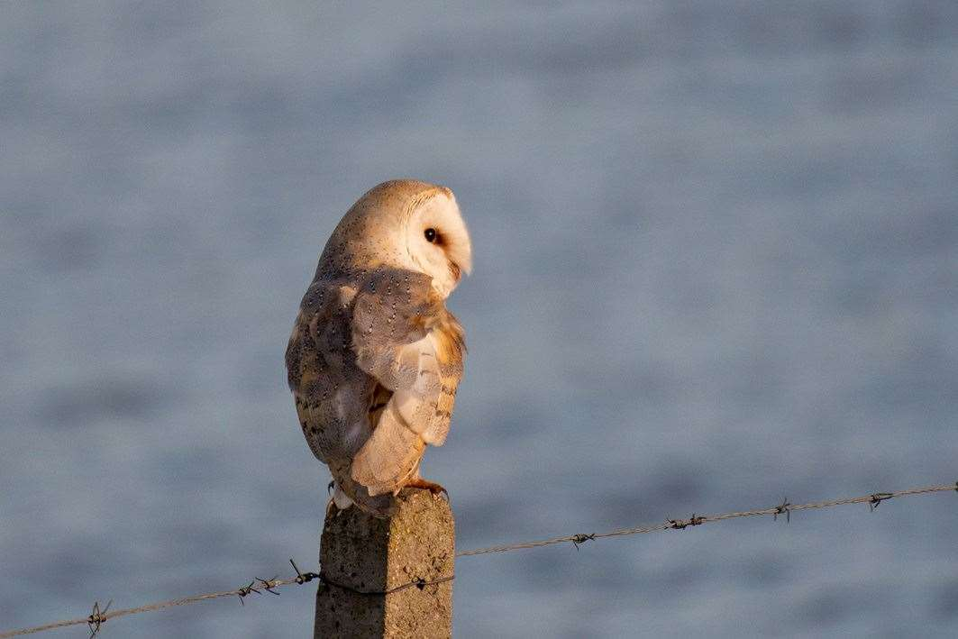 Steve Prior, of Spalding, took this picture of a barn owl catching the last of the evening sun. (8065096)