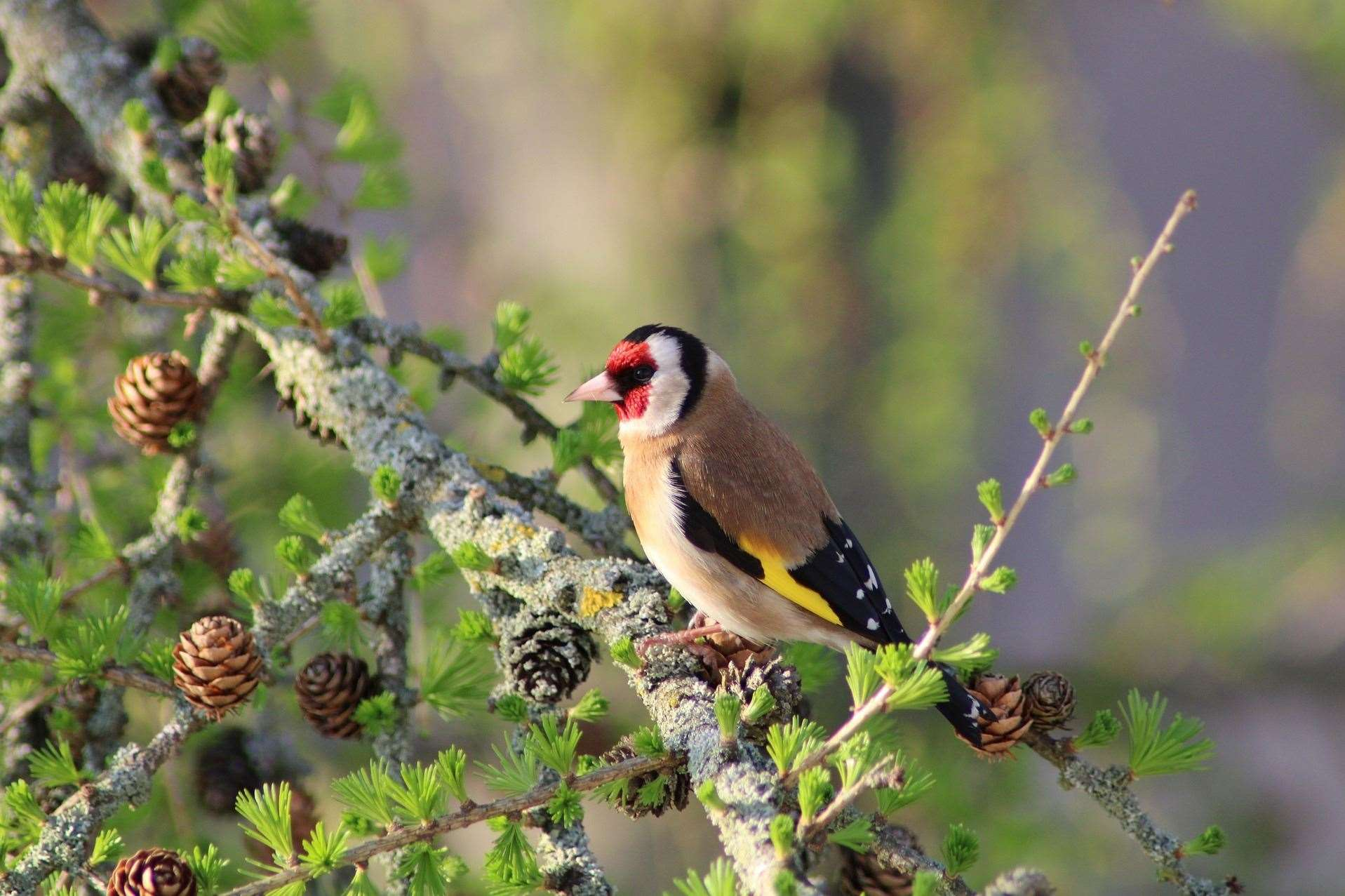 A goldfinch. Image by Rachel Shaw, Lincolnshire Wildlife Trust.