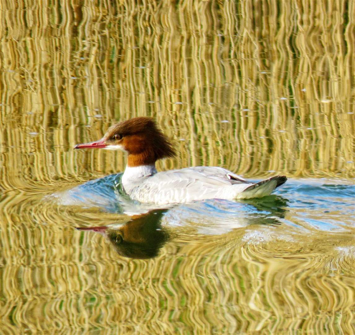 Malcolm Pepper's picture of a female Goosander, Vernatts nature reserve in Spalding (12951158)