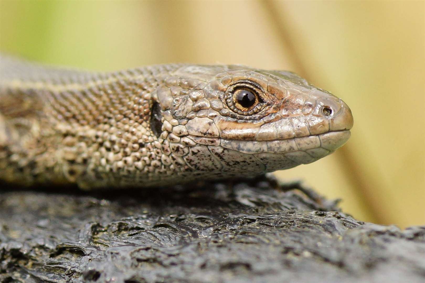 Baytree Garden Centre at Weston hosts a reptile show on Sunday from 11am until 3pm. (Stock image)