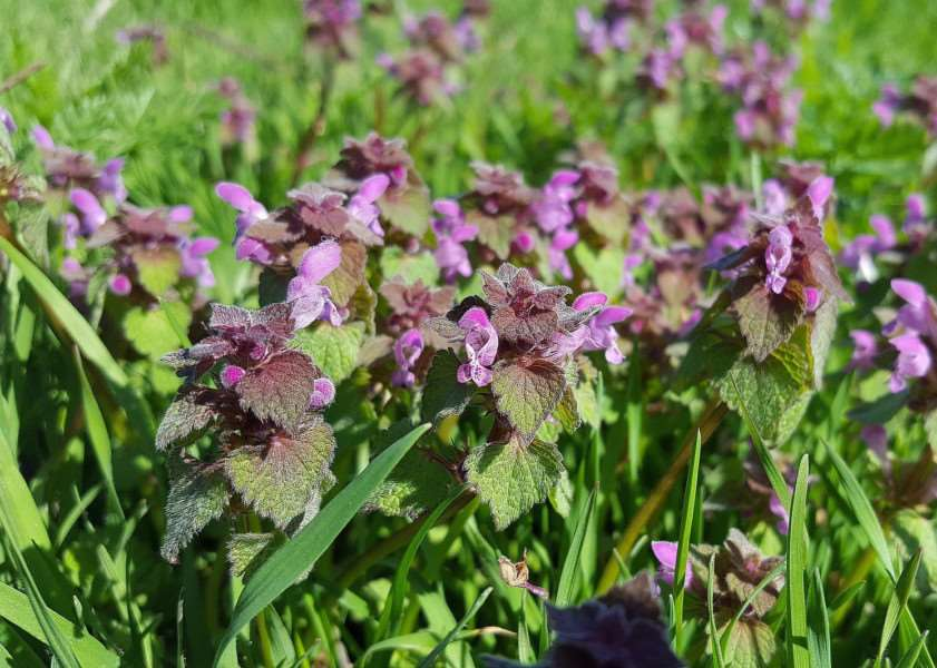 Red dead-nettle flower, also known as Lamium Purpureum. Photo provided by Lincolnshire Wildlife Trust.