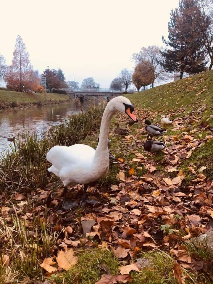 READERS' PHOTOS: Spalding reader Lucy Jerwood took this picture of a majestic swan. (34901661)