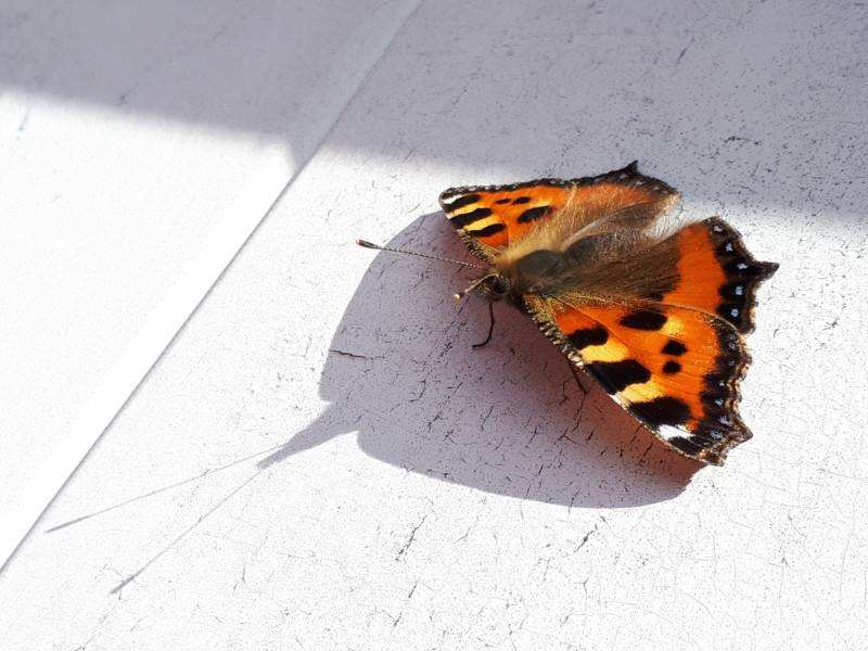 A small tortoiseshell butterfly, captured on camera by Rachel Shaw of Lincolnshire Wildlife Trust