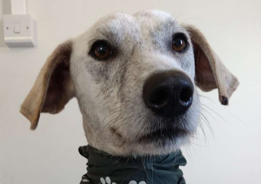 Lurcher Larry needs a loving home.