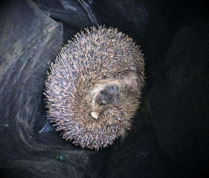 Hedgehog found in plastic bag.