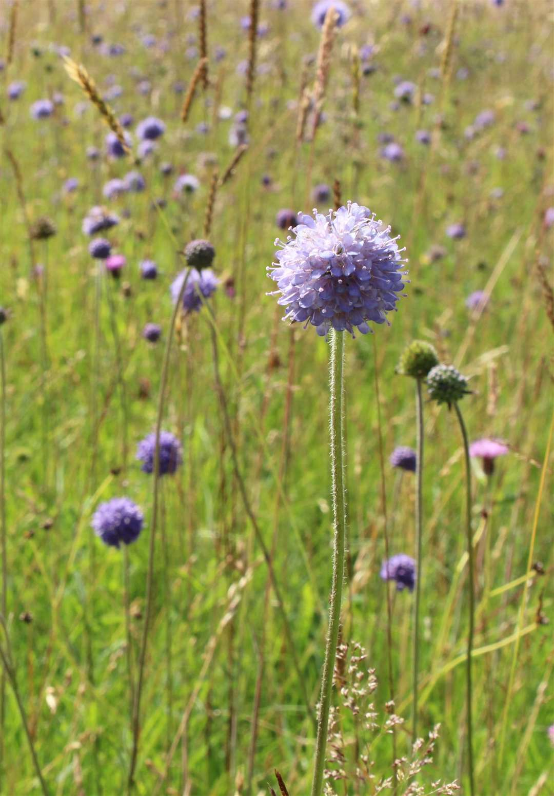 Devil's-bit scabious. Credit: Barrie Wilkinson (3008346)