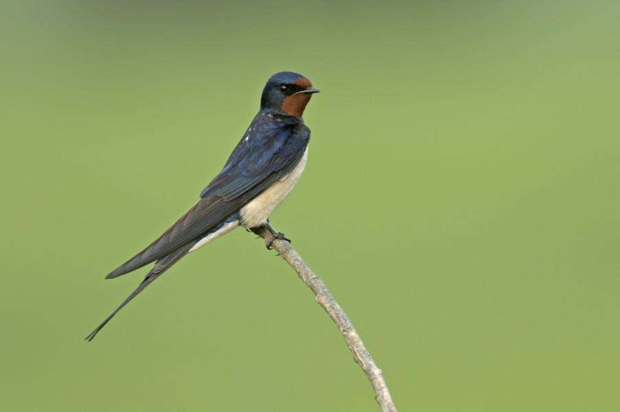 A Barn swallow (Hirundo rustica) adult perched on a fallen tree at an arable farm, by Chris Gomersall/2020 Vision.