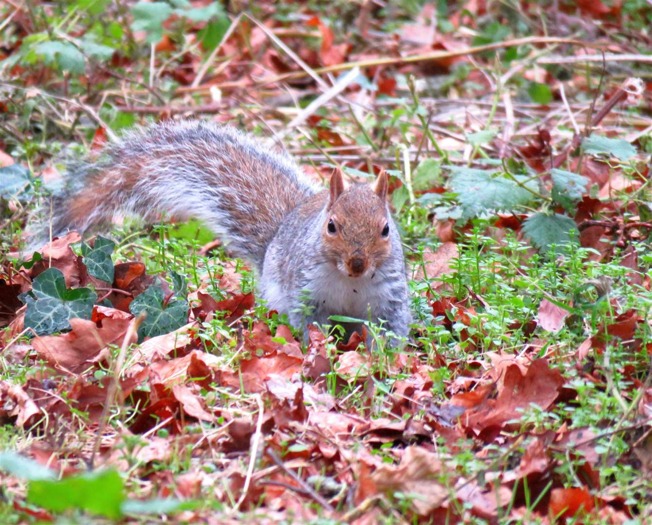 READERS@ PHOTOS: Malcolm Pepper's shot of a grey squirrel in Spalding Parish churchyard. (6700155)