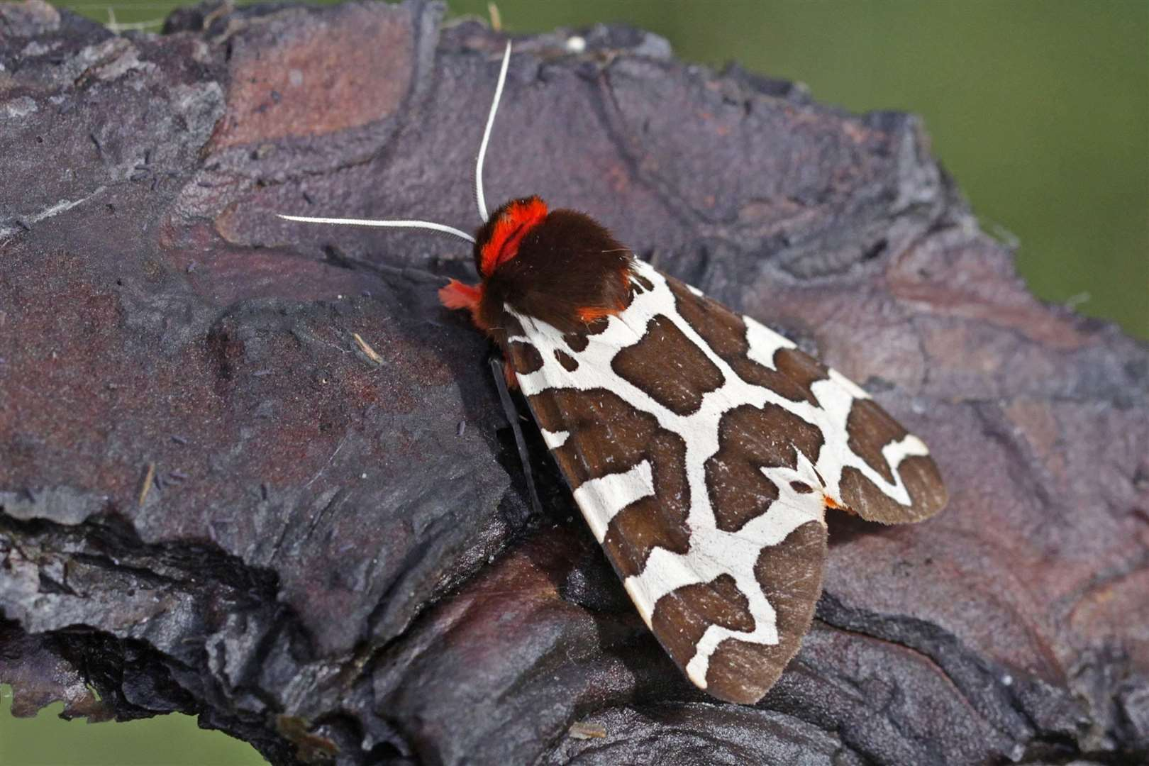Garden tiger moth. Photo by Margaret Holland. (3971864)