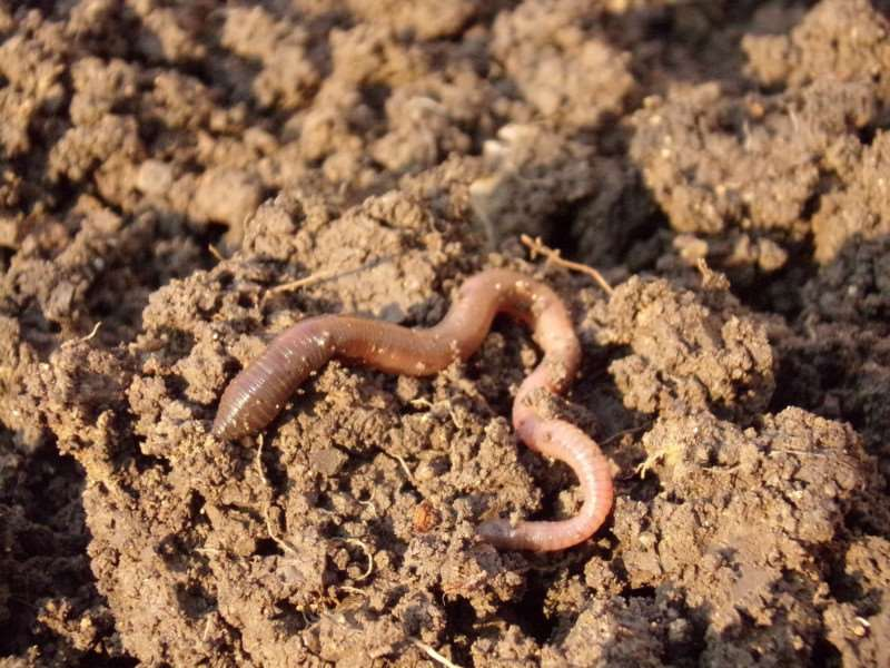 Earthworms are engineers in the soil. They help oxygen and water to flow through the soil by creating burrows. They also break down and recycle decaying plants.