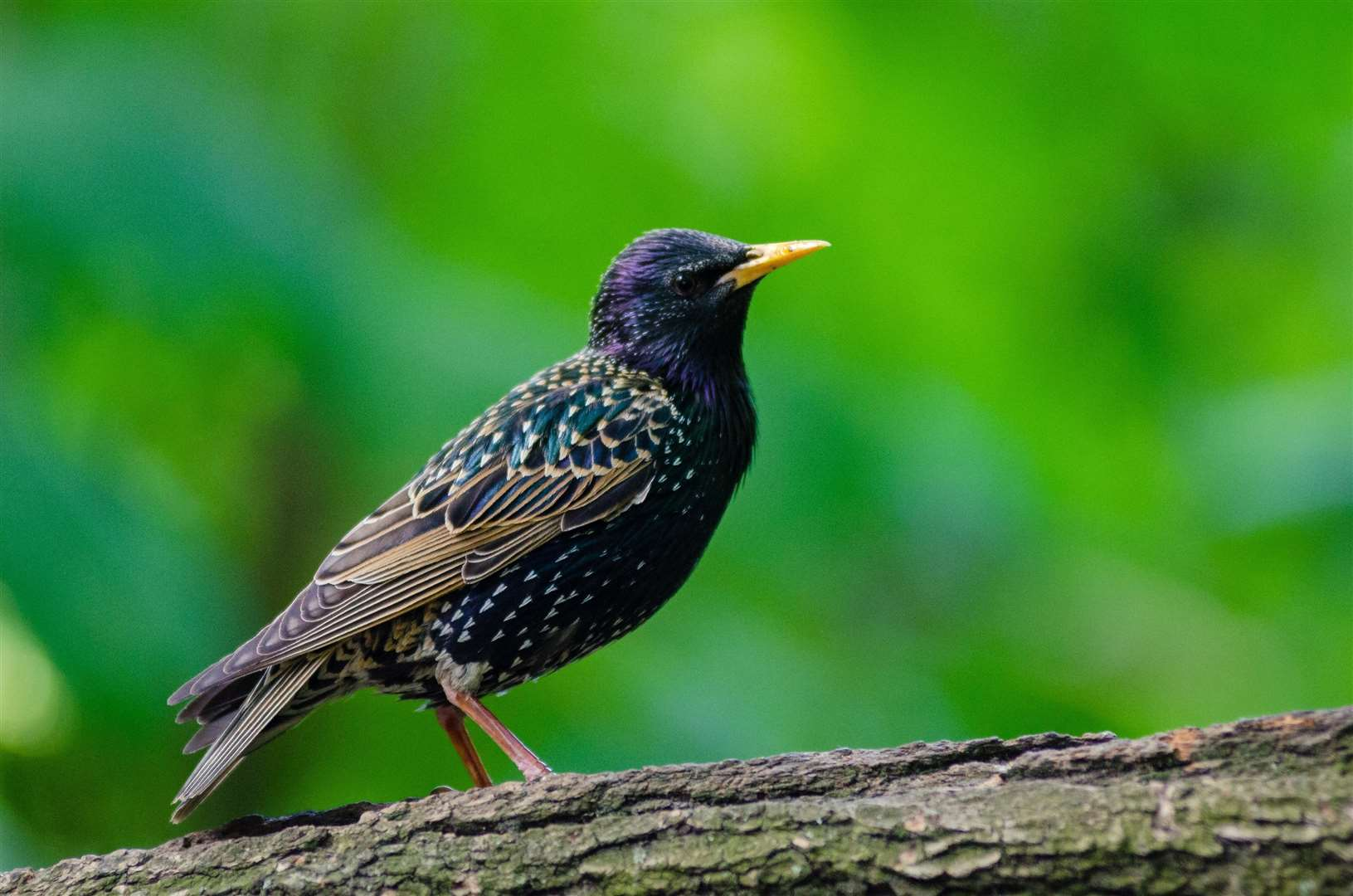 A starling, beautifully frozen in time by the click of a camera's shutter. (5638418)