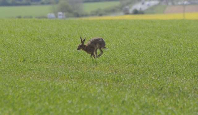 A hare on the move