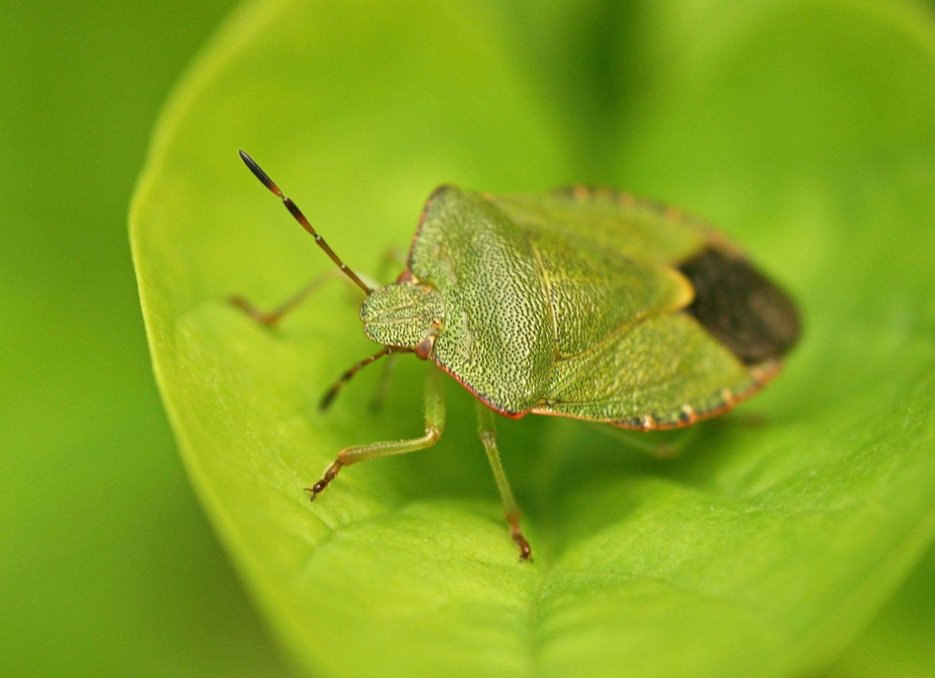 A green shield bug. Image by Rachel Scopes.