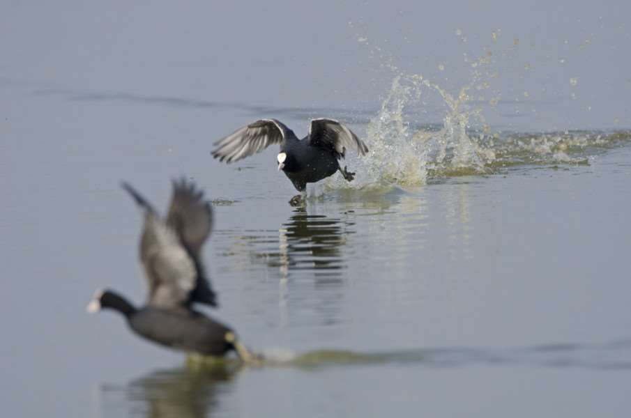 Thrill of the chase: Courting coots, pictured by David Tipling/2020VISION.