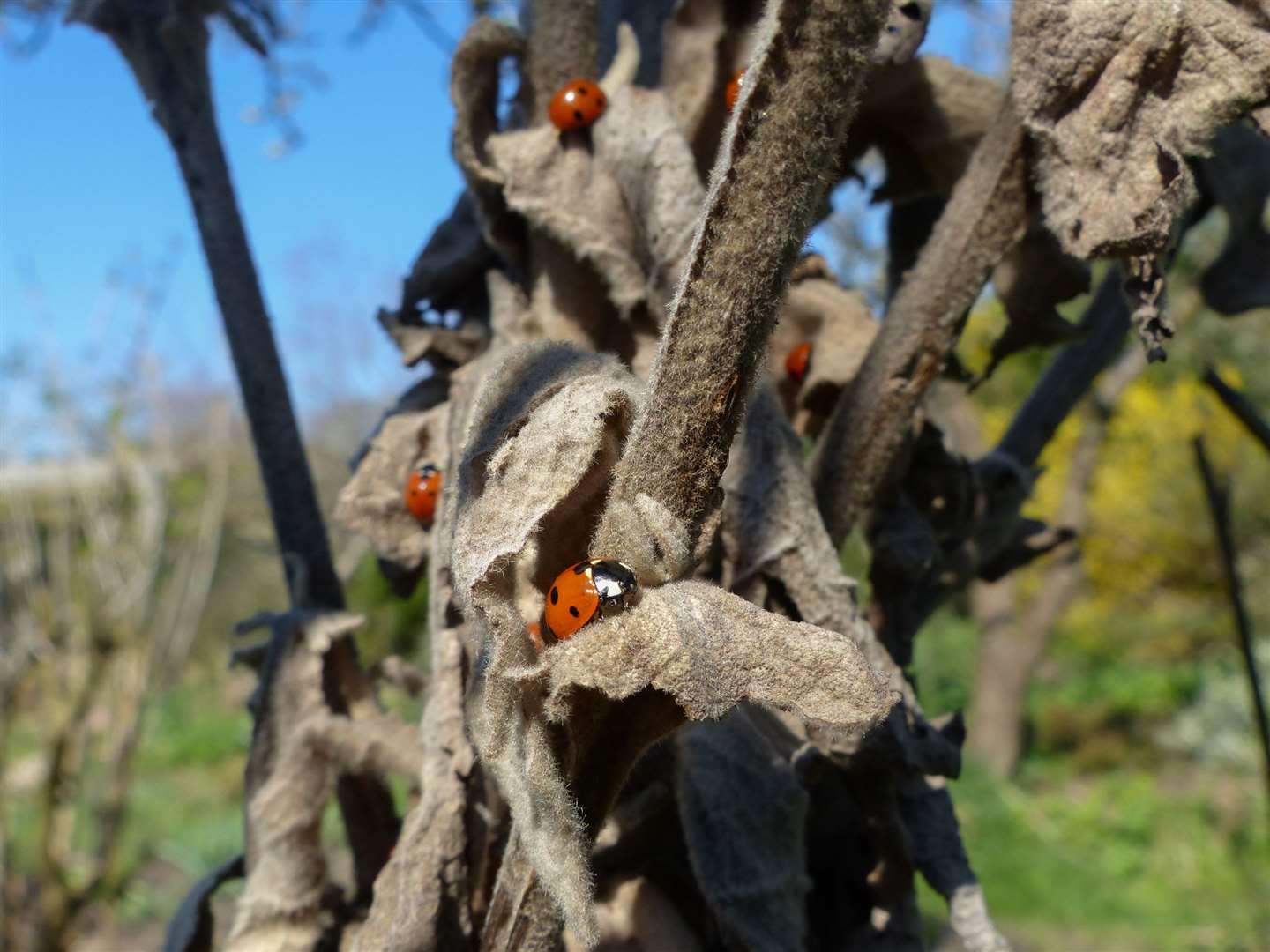 Ladybirds coming out of hibernation from dead stems on a tree