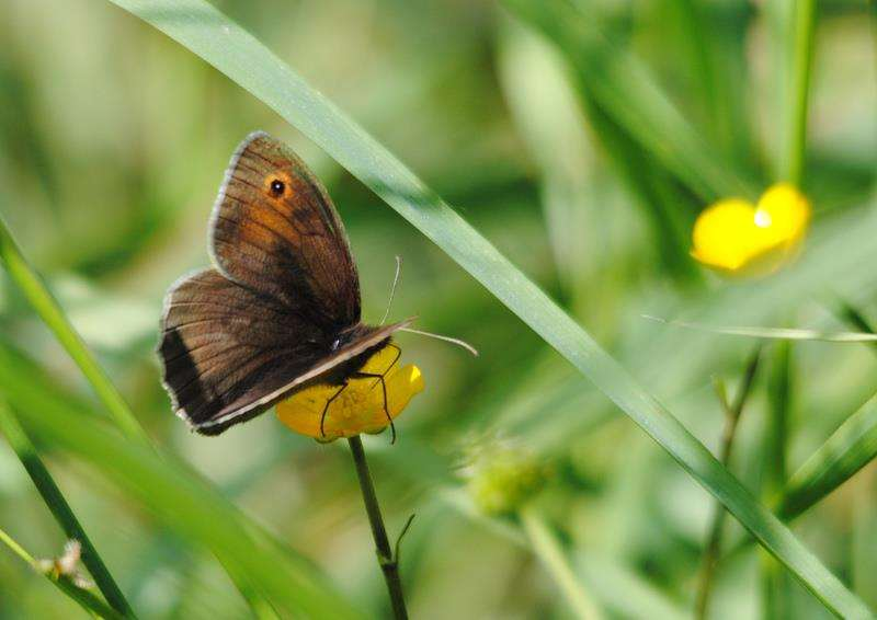 meadow brown butterfly feeding on a buttercup. Credit: Amy Lewis. (3008356)
