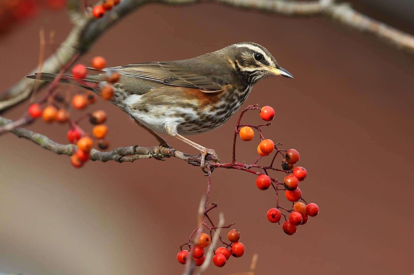 Redwings have been arriving in quite large numbers.