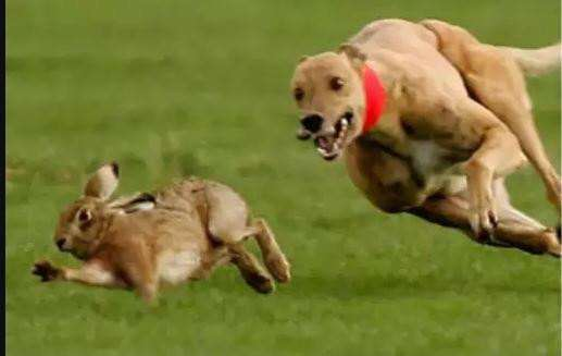 CLA issue warning as hare coursing season is set to start.