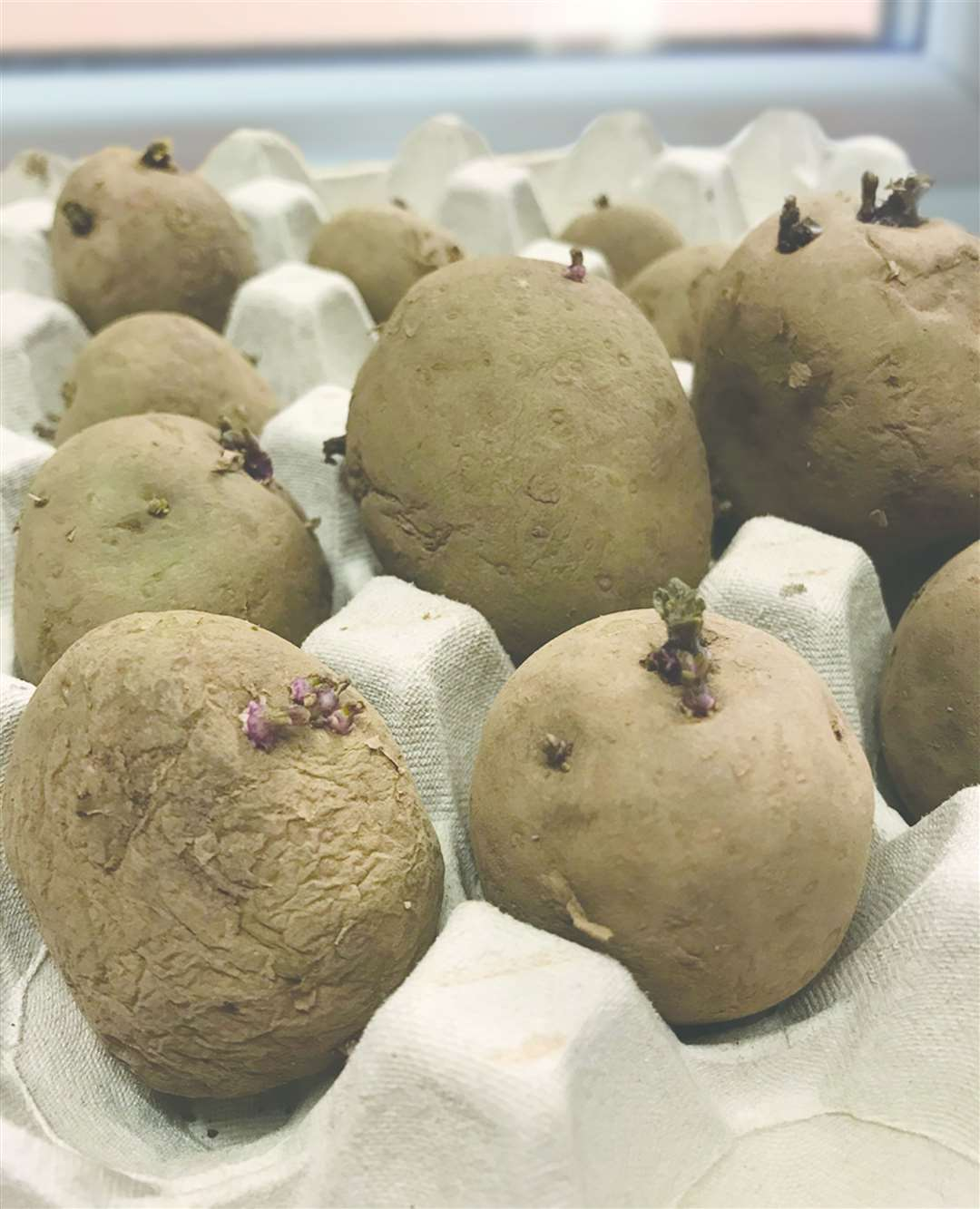 Seed potatoes are chitting (27284859)