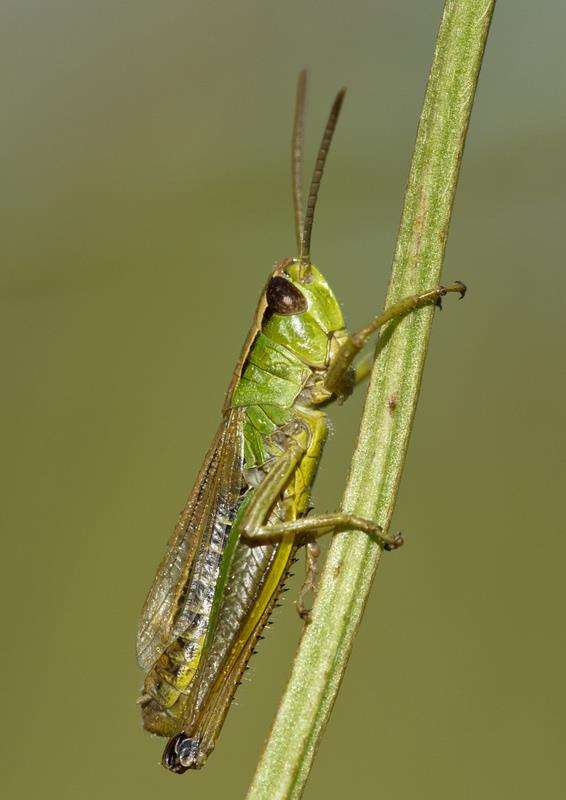 Meadow grasshopper: Credit: Guy Edwardes (3008358)