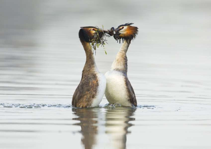 The great crested grebes do their dance and exchange water weed. Photo: Andrew Parkinson/2020VISION.